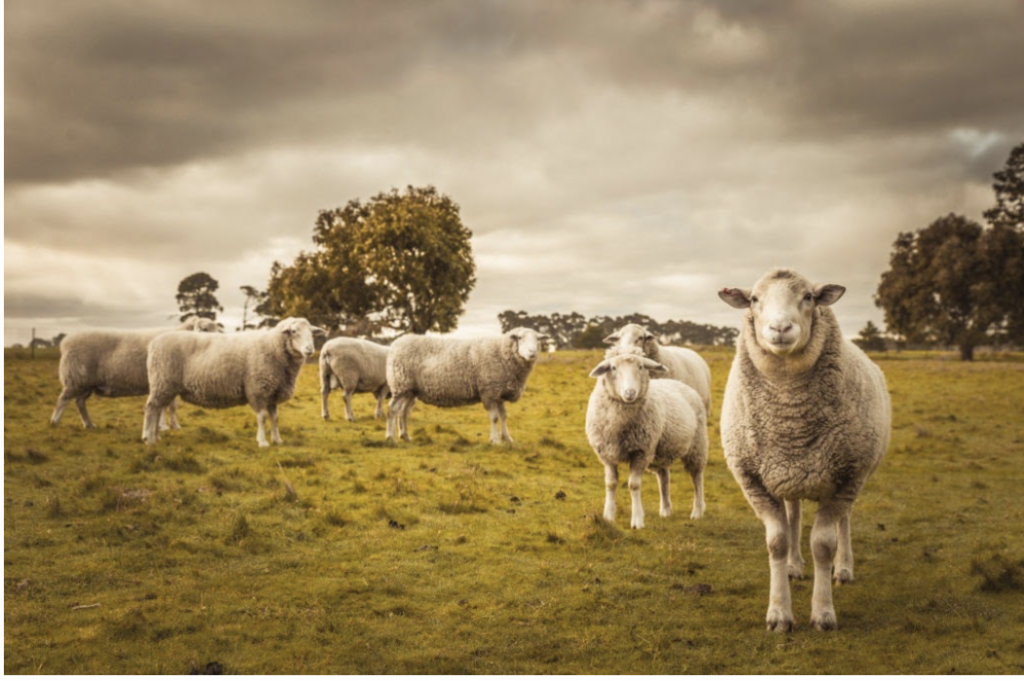 sheep in pasture
