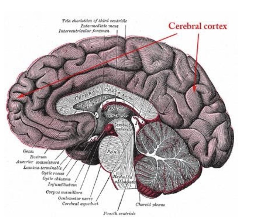 a diagram of the brain